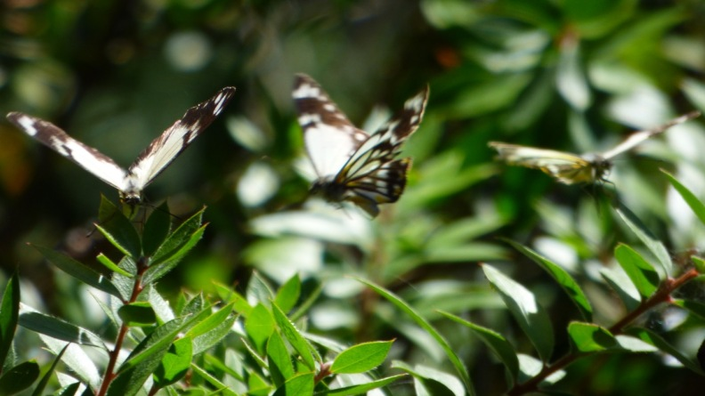 The Caper White Butterfly