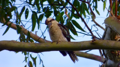 The Laughing Kookaburra
