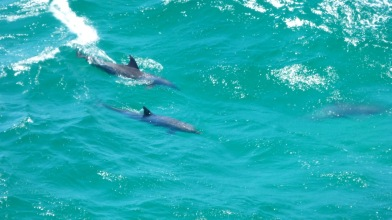 Dolphins swimming/surfing