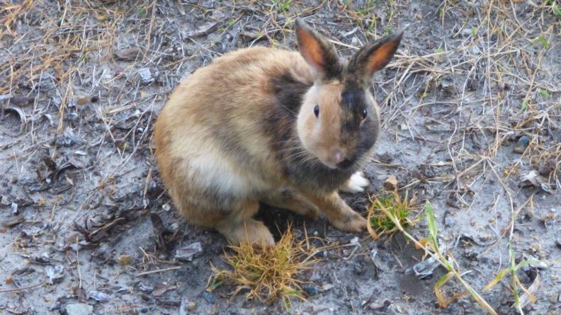 Rabbit seen eating grass