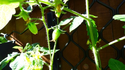 Baby 'egg' tomatoes