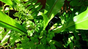 Birds nest and maiden hair ferns