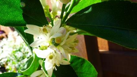 Limes coming to life