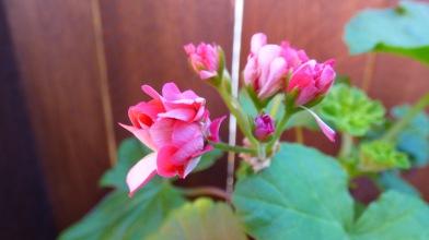 More geranium flowers