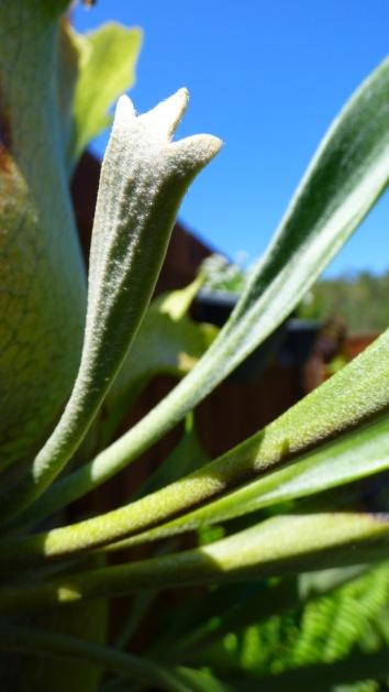 A new elk horn leaf