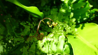 One maidenhair
