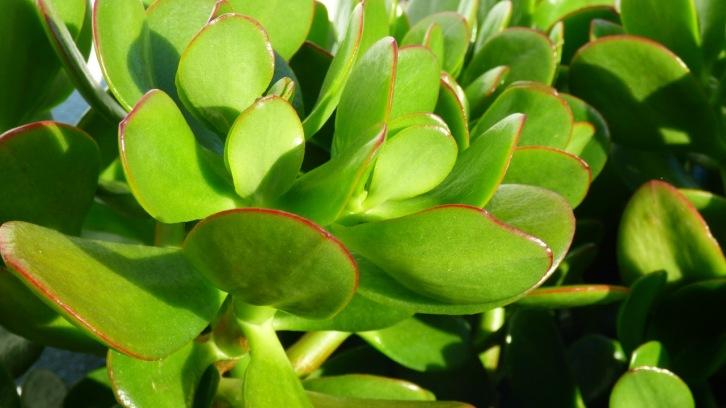 Super large leaf jade
