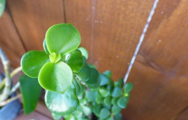 Small leaf jade