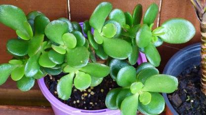 Large leaf jade