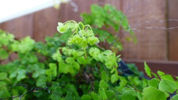 Another maidenhair
