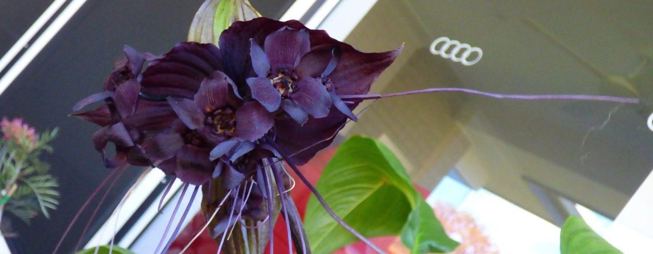 My Black Bat Flower