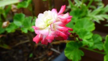 Geranium - Variegated Pink