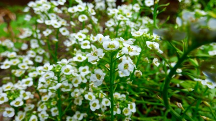 White version of a ground cover