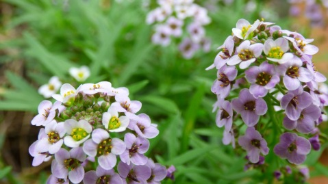 Lilac version of a ground cover