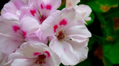Geranium - Pale Pink