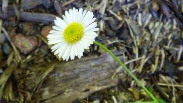 Everlast Daisy
