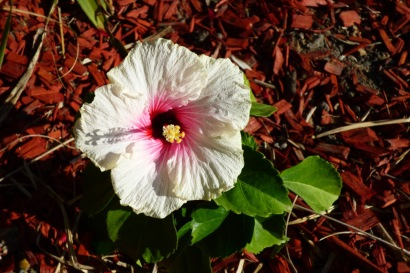 Hibiscus - Big flower, little plant