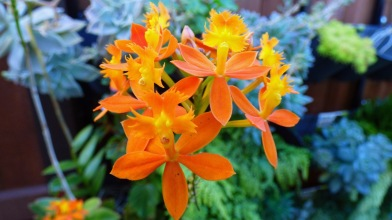My orange Crucifix orchid still flowering