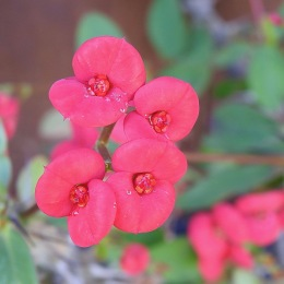 Soft Red - looks pink to me
