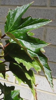 Wing-shaped leaves
