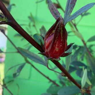 A calyx on a bush