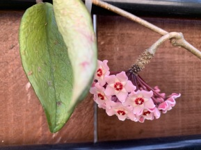 There's a flower on my Hoya - but the plant itself is looking very sad.
