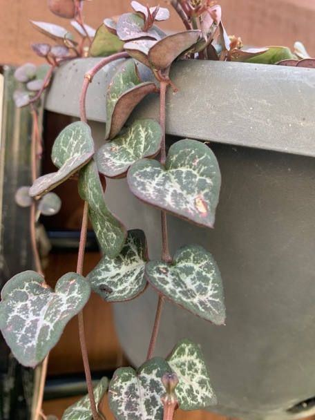 My Chain of Hearts - although a lot of the plant was destroyed.