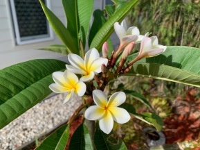 The Frangipani I planted in the front garden is looking better than my potted one and has a lovely cluster of flowers - if only one cluster.